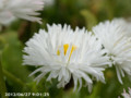 [花]デイジー