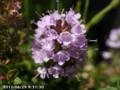 [花]イブキジあャコウソウ
