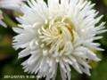 [花]ワイルドベリーデイジー