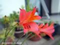 [花]アストロメリア