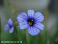 [花]シシリンチュームカルフォリニアンズアイズ