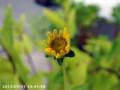 [花]宿根ひまわり