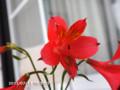 [花]ヘメロカリス