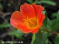 [花]ポーチュラカ