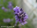 [花]ラベンダー