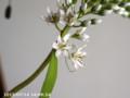 [花]園芸種