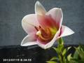 [花]スカシユリ