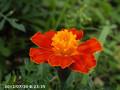 [花]マリーゴールド