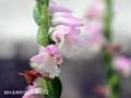 [花]ネジバナ
