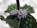 [花]ミント