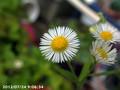 [花]エリゲロン・カルビンスキアヌス