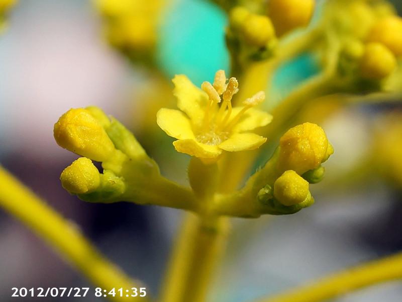 オミナエシ