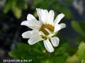 [花]ハマギク