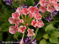 [花]バーベナー