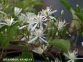 [花]センニンソウ