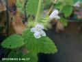 [花]レモンバーム