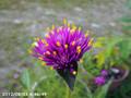 [花]センニチコウ・ファイアーワークス
