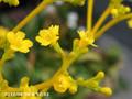 [花]オミナエシ