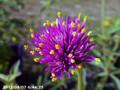 [花]センニチコウ ファイヤーワークス