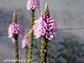 [花]バーベナーハスタータ