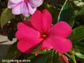 [花]サンパチェンス