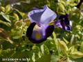 [花]トレニア