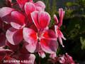 [花]ゼラニウム
