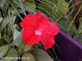 [花]サフィニア