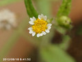 [花]ハキダメギク」