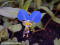 [花]ツユクサ