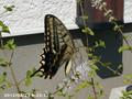 [虫]アゲハ蝶
