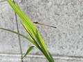 [虫]カゲロウ