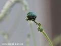 [虫]コガネムシ