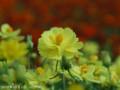 [花]キバナコスモス