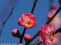 [花]紅梅