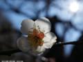 [花]白梅