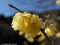[花]蝋梅