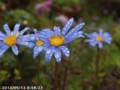 [花]ブルーデイジー
