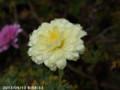 [花]マーガレット