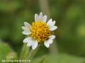 [花]掃き溜め菊