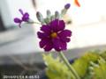 [花]サクラソウ