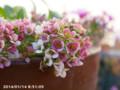 [花]アリッサム