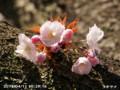 [花]タオヤメ