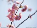 [花]ヤエムラサキザクラ