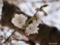 [花]センリコウ