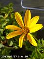 [花]ヒメヒマワリ