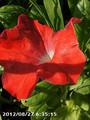 [花]ペチュニア