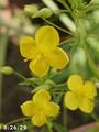 [花]リトルチュチュ