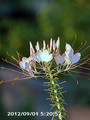 [花]クレオメ