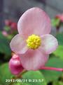 [花]シュウカイドウ